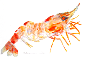 Heterocarpus  ensifer, marine series, marine art, watercolor